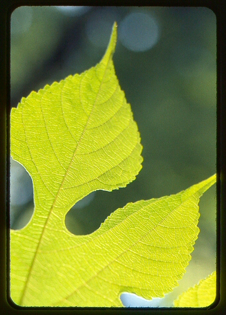 Leaf1ektachrome1962