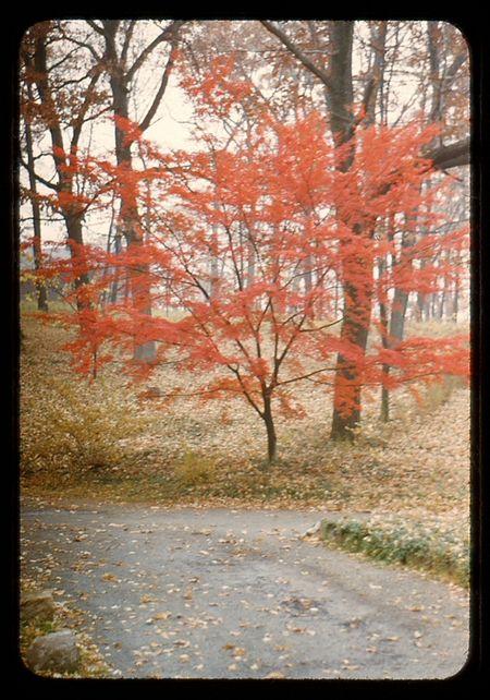 Mapledusted