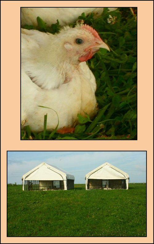 2chickens2